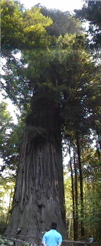 Thumbnail of picture of redwood tree.